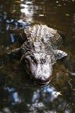 Krokodil an den Homosassa Frühlingen lizenzfreie stockfotos