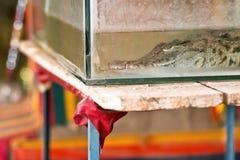 Krokodil in der Gefangenschaft Lizenzfreies Stockfoto