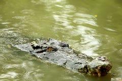 Krokodil in der Sumpfschwimmen Stockfotografie