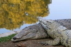 Krokodil die in de zon zonnebaadt Stock Afbeeldingen