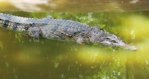 Krokodil die in het water drijft Stock Afbeelding