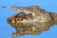 Krokodil die impala eten Stock Foto's
