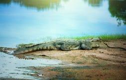 Krokodil die op de kust rusten Royalty-vrije Stock Foto