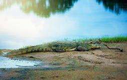 Krokodil die op de kust rusten Stock Afbeeldingen