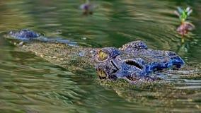 Krokodil die op het slachtoffer vóór de aanval wachten De krokodillen Crocodilia zijn grote aquatische reptielen die helemaal lev royalty-vrije stock fotografie