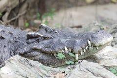 Krokodil die op rots leggen Stock Foto's