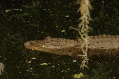 Krokodil die op water drijven Stock Fotografie