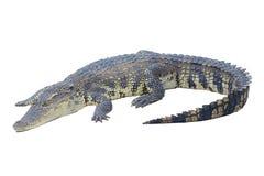 Krokodil die op wit wordt geïsoleerdt stock afbeelding