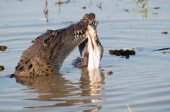 Krokodil die prooi eten royalty-vrije stock afbeeldingen