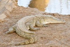 Krokodil die van zonneschijn geniet Royalty-vrije Stock Foto's
