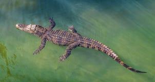 Krokodil die in water drijven stock afbeelding