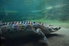 Krokodil Djurliv Sydney Zoo Australien fields den nya södra dalen wales för druvajägaren australasian Arkivbilder