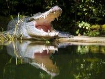 Krokodil door het meer Royalty-vrije Stock Foto
