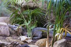 Krokodil in een dierentuin royalty-vrije stock afbeeldingen