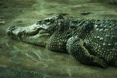 Krokodil in een landbouwbedrijf stock afbeelding