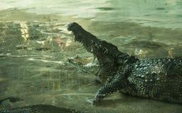 Krokodil in een landbouwbedrijf stock fotografie