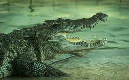 Krokodil in een landbouwbedrijf stock foto's