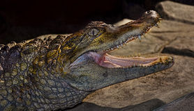 Krokodil in einem Zookäfig Lizenzfreies Stockbild