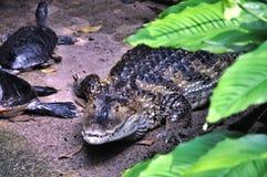 Krokodil en schildpadden royalty-vrije stock foto