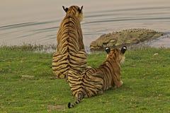 Krokodil för tiger V/s Arkivfoto