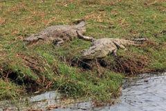 Krokodil för två vuxen människa som ligger på flodbanken i reserven Chobe Royaltyfri Foto
