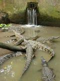 Krokodil-Familie Stockfotografie