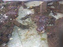 Krokodil geplagtes Wasser Lizenzfreie Stockfotografie