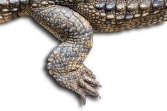 Krokodil getrennt Stockfotografie