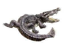 Krokodil gnarr stock foto's