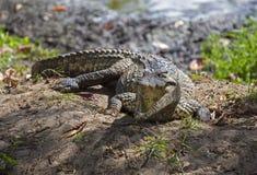 Krokodil in Guama stock foto