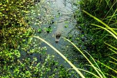 Krokodil het besluipen in het water royalty-vrije stock foto's