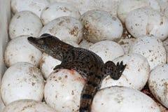 Krokodil het hatchling en eieren bij een krokodillandbouwbedrijf stock foto's
