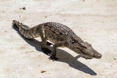 Krokodil het lopen royalty-vrije stock afbeelding
