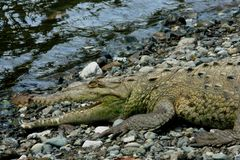 Krokodil in het Nationale Park van Corcovado, Costa Rica royalty-vrije stock foto's
