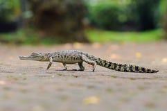Krokodil in het water Royalty-vrije Stock Afbeelding