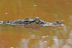 Krokodil in het water Royalty-vrije Stock Afbeeldingen