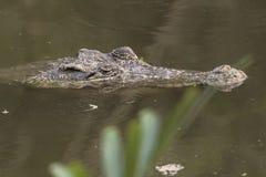 Krokodil in het water royalty-vrije stock foto
