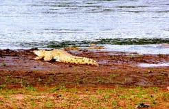 Krokodil in het water Royalty-vrije Stock Fotografie