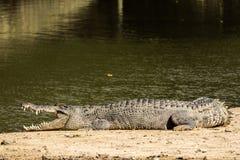 Krokodil het zonnen Stock Fotografie