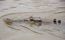 Krokodil het zwemmen royalty-vrije stock foto