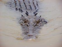 Krokodil het zwemmen Stock Foto