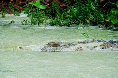 Krokodil i bevattna Arkivfoto