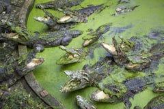 Krokodil i dammet Fotografering för Bildbyråer