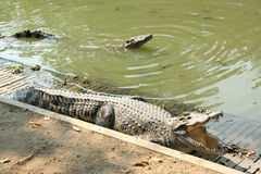 krokodil i den Thailand zoo royaltyfria bilder