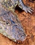 Krokodil i den wild naturen av South America Royaltyfria Foton