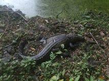 Krokodil i djungeln royaltyfri fotografi