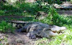 Krokodil i djungeln Royaltyfria Bilder