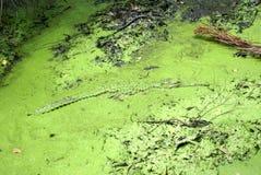 Krokodil i ett dolt damm för alger royaltyfri foto