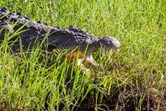 Krokodil i gräset, Chobe nationalpark, Botswana Royaltyfria Foton