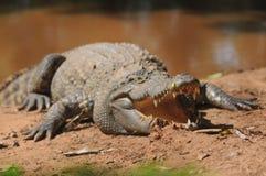Krokodil i koratzoo, Thailand Arkivfoton